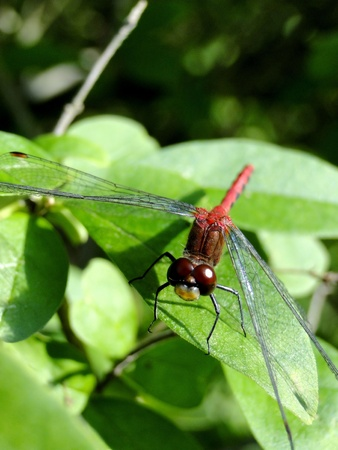 Up-close macro of a red dragon fly.