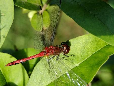 upclose: Up-close macro of a red dragon fly.