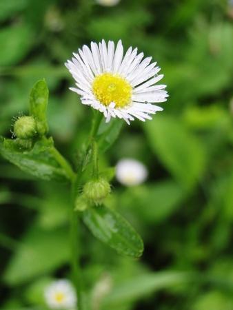 Wild white daisy after a light rain.
