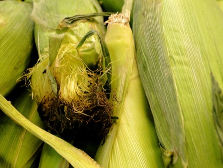 Frame filled with fresh corn on the cob.