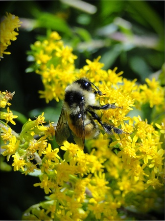 Abeja recolectar polen necture. Foto de archivo - 10441807