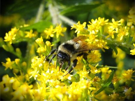 Honey bee collecting pollen necture.