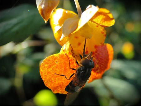 Yellow snap dragon with a honey bee eating from it. Stock Photo