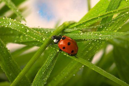 Wet ladybird photo