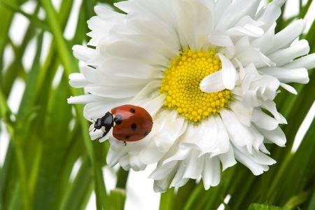 Ladybird in a daisy Stock Photo - 3145337