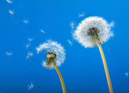 Dandelions blowing in the wind
