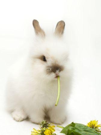 lapin blanc: White Rabbit