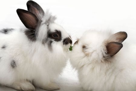 dwarfish: Two loving dwarfish rabbits