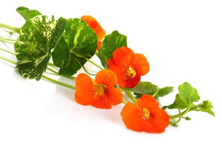Nasturtium flowers isolated over white Stock Photo