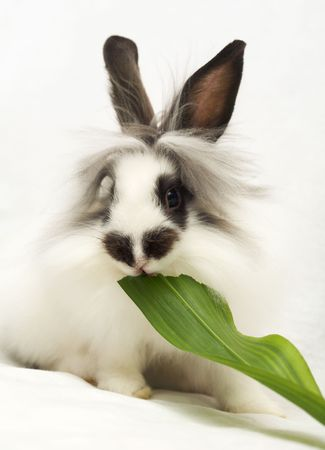 dwarfish: Dwarfish rabbit eats green leaf Stock Photo