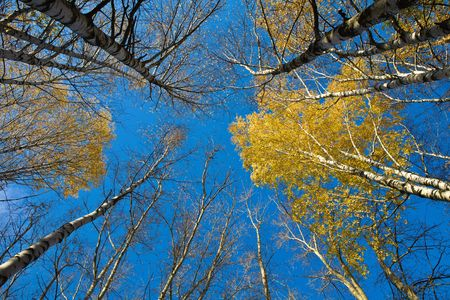twiggy: Autumn yellow birches and the blue sky