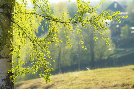 shined: Spring branch of birch shined with sun