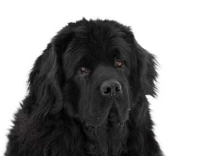 Portrait of newfoundland dog