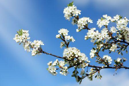 blossom time: Cherry blossom time