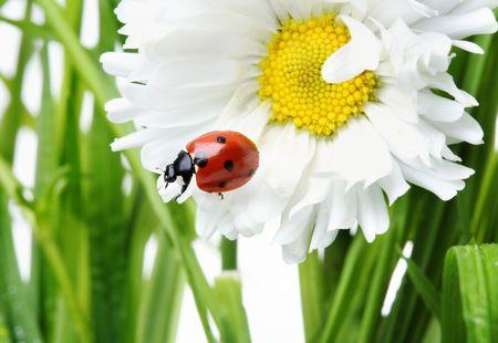 Ladybird in a daisy Stock Photo - 6703787