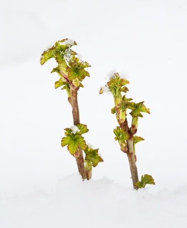 snowdrift: Sprouts of currant in snowdrift