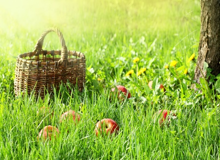 Red apples and garden basket in green grass