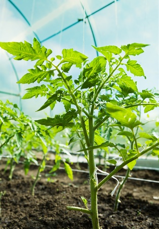 glasshouse: Tomatoes growing in a greenhouse  Stock Photo