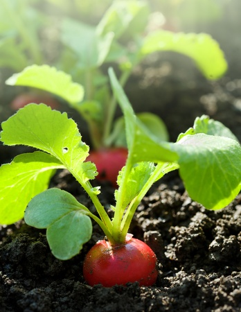 red soil: Red radish in bed