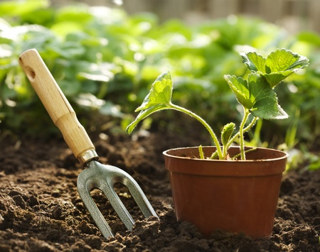 gardening tools: Strawberry plant in pot
