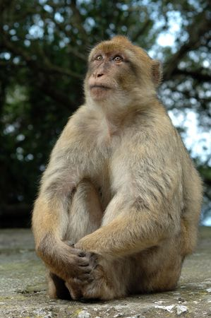 simian: sitting monkey Stock Photo