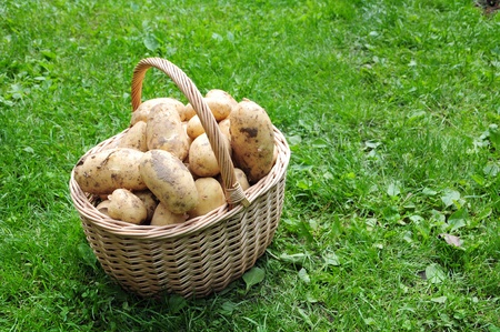 a basket of fresh potatoes photo