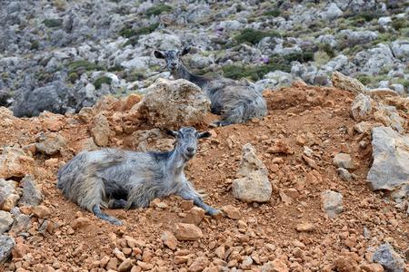 crete: Goat South Crete Greece