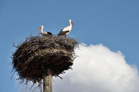 cicogna: Cicogne nel nido, la Lituania, Europa orientale