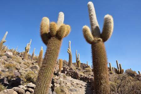 salt flat: Cactus island in Uyuni Salt Flat. Salar de Uyuni, worlds largest salt flat, Bolivia, South America Stock Photo