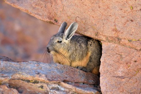 occurs: Viscachas or vizcachas. They are chinchillas, but look similar to rabbits. The southern viscacha occurs in southern Peru, southern and western Bolivia. Stock Photo