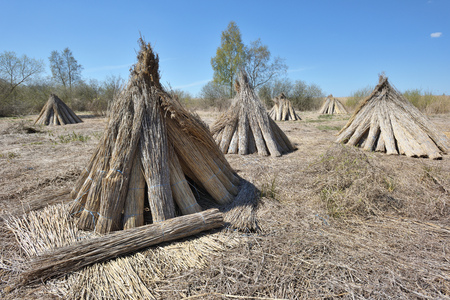 Bundles of natural reed for drying with blue sky Stock Photo