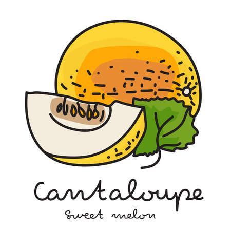Sweet melon or Cantaloupe on white background. Vector illustration