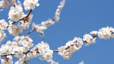 blue widescreen widescreen: 16x9 wide-screen aspect ratio background - branch of blossoming apricot, blue sky, season spring.