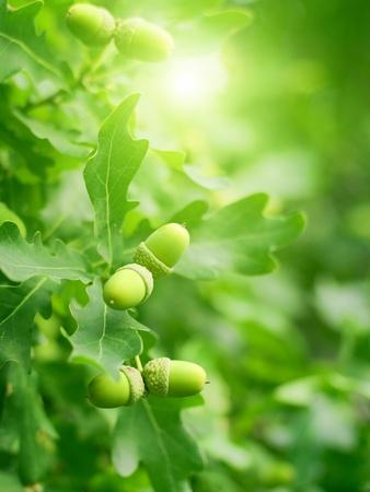 roble arbol: Fondo abstracto de la naturaleza - las hojas verdes de roble y bellotas, sol brillante Foto de archivo