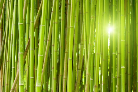 Green bamboo forest with bright morning sunlight photo