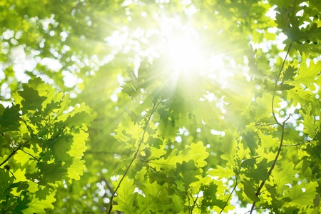 Ecological background - green leaves of oak, bright sun photo
