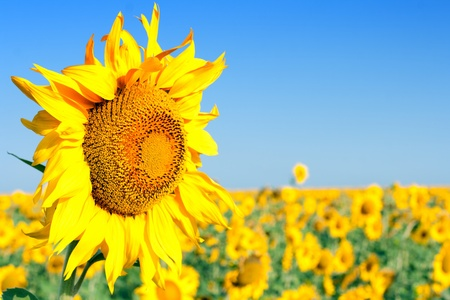 Agricultural background - yellow blooming sunflower, clear blue sky