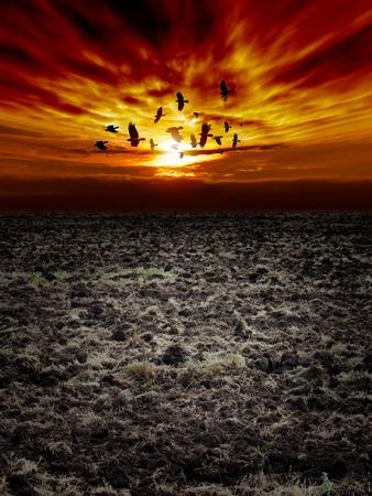 arable: Big arable field, dark sunset sky, flock of flying ravens, crows in dark sky Stock Photo