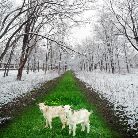 yeanling: Two goatlings on green grass in winter park, concept of climate change, warming