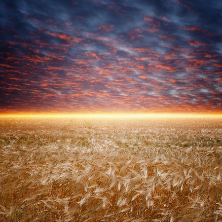 Ripe wheat field, dark red sunset, glowing horizon photo