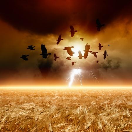 Dramatische natuur achtergrond - rijpe tarwe veld, donker rode zonsondergang, gloeiende horizon, koppel van vliegende raven, kraaien in donkere hemel met bliksem