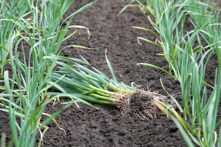 Agricultural background - green garlic on cultivated land photo