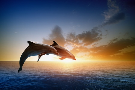 Couple jumping dolphins, beautiful sea sunset