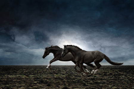 Couple black horses running through plowed field in stormy weather