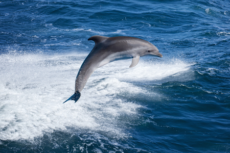 Marine wildlife background - bottlenone dolphin jumping over sea waves
