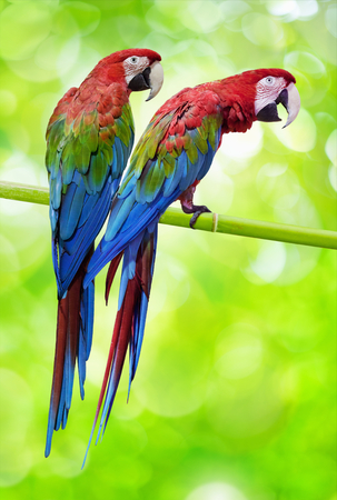 two parrots: Two exotic birds, big colourful parrots on bamboo stem