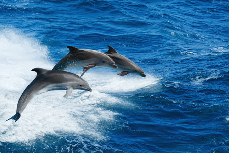 Marine wildlife background - three bottlenone dolphins jumping over sea waves