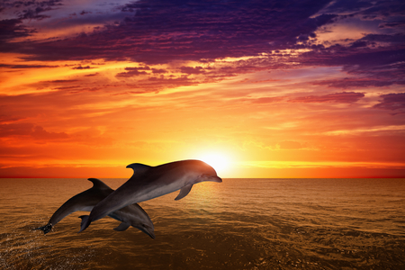 Marine life background - jumping dolphins, beautiful red sunset on sea