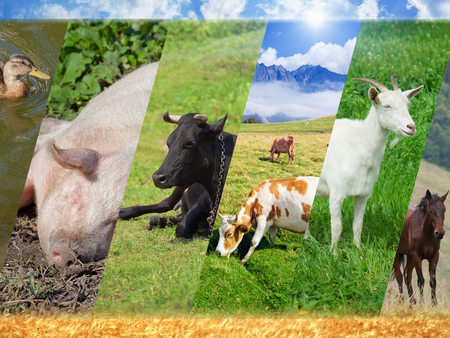 cattle grazing: Livestock collage with photo of farm animals, breeding of farm animals - pig, cow, goat, horse, duck Stock Photo