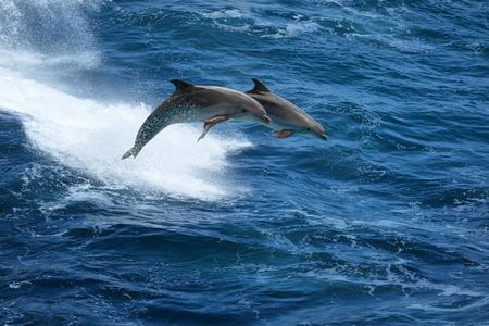 brincando: Salvaje naturaleza de fondo - dos delfines saltando en el mar tempestuoso